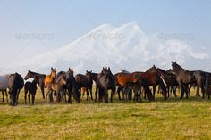 Herd of horses on a summer pasture by ElenaShchipkova. Herd of horses on a summer pasture. Elbrus, Caucasus, Karachay-Cherkessia