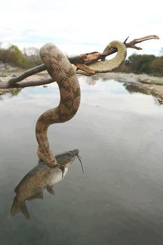 Wow. Snake catching a fish