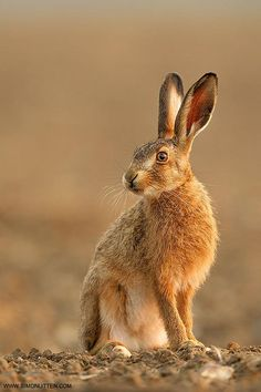 Brown Hare | Workshop Image by Simon Litten: Fine Art Photography http://alldayphotography.com