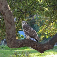 http://washingtonsquareparkerz.com/hawk-in-washingtonsquarepark-nyc/ | Hawk in #WashingtonSquarePark #NYC