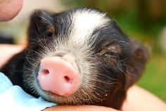 Exotic Pets Legal in Texas | Unusual Pets Legal In California This pig reminds me of the pot bell pig my sister in law had her name Princes Rose.