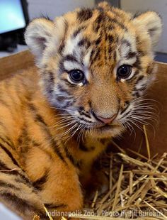 Name Game for Amur Tiger Cub! Indianapolis Zoo wants help naming new cub! Learn more: http://www.zooborns.com/zooborns/2014/09/name-game-for-amur-tiger-cub.html