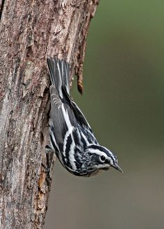 Black-and-white Warblers often forage on tree trunks