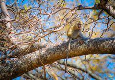 Vervet monkey in Moremi Game Reserve