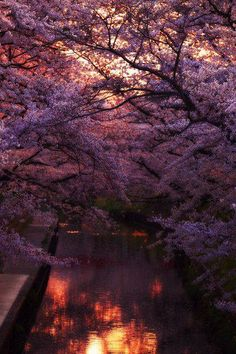 I have always wanted my own japanese water garden with cherry blossoms blowing in the wind. so beautiful.