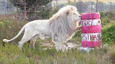 Chris Poole bemüht sich, die Notlage obdachloser Katzen und heimatloser Grosskatzen bekannt zu machen und verbringt viel Zeit damit, Videos seiner Katzen Cole und Marmalade aufzuzeichnen. In folgendem Video, dass im Panthera Africa Big Cat Sanctuary in Südafrika aufgenommen wurde, können wir be...