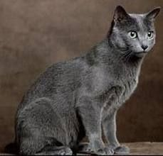 Russian Blue - this is what I went looking for and a calico picked  me instead. No regrets.