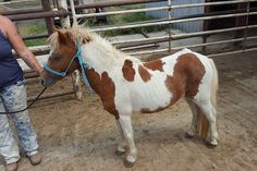 #9335 - 5 yr old sorrel paint mini stud. Price: $300 PayPal - mcbarronhorses@yahoo.com - choose Goods & Services option, and include the assigned # of the equine you're purchasing. Also be sure to include your name, email address, and phone #. Echecks not accepted. Location: Kaufman County, Texas (Forney) Shipping Deadline: Sunday, Oct 4th - 4 pm