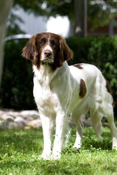 What a Beauty!  Drentsche Patrijshond, also referred to as Dutch Partridge Dog.