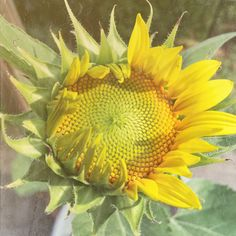 sunflower by Caz Sultz for Texture Tuesday @ Loving Life through my Lens