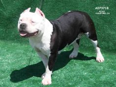 Meet BENTLEY, Adt Female Pit Bull Terrier Dog | Hanford, CA | Petfinder.com is the world's largest database of adoptable pets and pet care information....