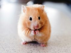 Cute hamsters decorated our pictures. Here are the hamster wall papers. We present you with some lovely 32 hamster backgrounds and information about hamams. Hamsters As Pets, Funny Hamsters, Cute Hamster Names, Dwarf Hamsters, Rodents, Good Morning Cards, Good Morning Images, Animals And Pets, Baby Animals