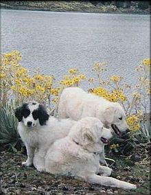 Mucuchies - A.k.a. Snowy (Nevado), Paramo's dog (Perro de los Paramos) - Venezuela - Shepherd and working dogs, watching and protecting livestock from predators