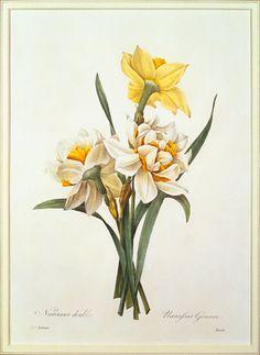 Image: Pierre Joseph Redouté - Narcissus gouani (double daffodil), engraved by Bessin, from 'Choix des Plus Belles Fleurs'