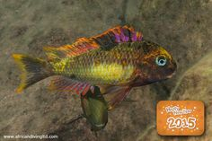 """An amazing mutant coloured male of Tropheus moorii """"Red rainbow"""" displaying in shallow water at Kambwimba, southern Tanzania."""