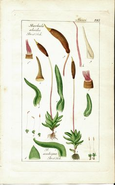 """Hand-colored botanical illustration. Mosses. Genus: Barbula (several species shown). Common names: bristle-moss, tree cushion moss. Family: Pottiaceae. Name origin: Barbula Latin for """"little beard"""", refers to the long twisted teeth on the fruit capsule membrane-like covering of some species"""