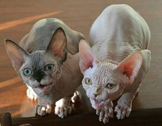 Crazy Cat Lady, Crazy Cats, Hairless Kitten, Bambino Cat, Animals And Pets, Cute Animals, Sphinx Cat, Oriental Cat, Cat Whisperer