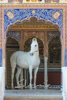 #Marwari #Horse #Christiane Slawik photography