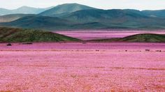 "The Atacama Desert in Chile, also known as the ""driest place on Earth,"" has been transformed into a lush floral wonderland of with pink flowers due to a historic amount of rainfall this past year. Unusually heavy rainstorms in March and August caused mudslides and floods, killing 28 people in the country and left thousands of others homeless, international news agency EFE reported. ""The Atacama region was punished, but also blessed by the phenomenon of a flourishing desert, something that ha..."