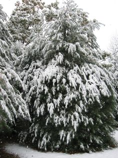 Snow ladened pines