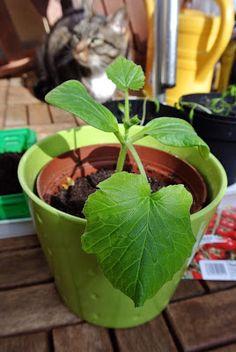 Zucchino, drei Wochen später