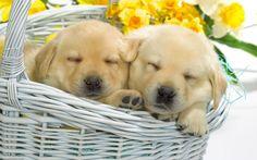 Animaux - Mignon - Chien - Chiens - Chiot - Puppys Fond d'écran