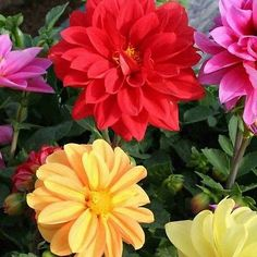20+ Dahlia Opera Mix Flower Seeds , Under The Sun Seeds