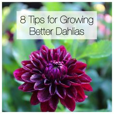 There is nothing difficult about growing dahlias. These flower-producing machines thrive almost everywhere and require little to no attention. Simply plant the tubers in spring and enjoy months of big Planting Dahlias, Growing Dahlias, Planting Bulbs, How To Grow Dahlias, Cut Flower Garden, Beautiful Flowers Garden, Flower Farm, Flower Gardening, Rare Flowers