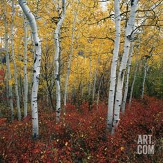 Aspen in autumn at Uinta National Forest Photographic Print by Micha Pawlitzki at Art.com