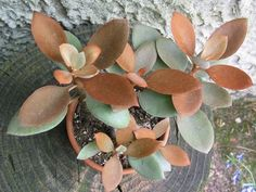 kalanchoe orgyalis Would look great against rust background