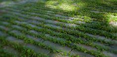 Dichondra planting