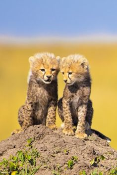 Cheetah cubs talking it over on the mound.