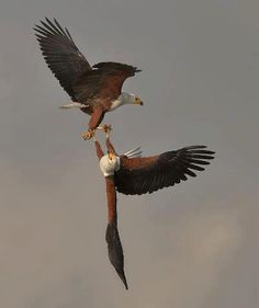 Male & Female Eagles in the death spiral of love <3
