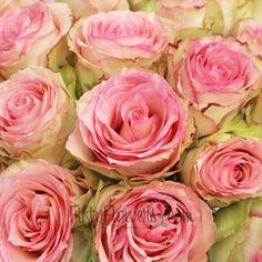 FiftyFlowers.com - Esperance Creamy Pink Antique Rose 25 for $80 / 50 for $110