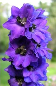 Love, love, love delphiniums!! There is a wide variety of colors, but the blues/purples are stunning! This one is called Magic Fountain Dark Blue and will definitely be an addition to my garden!