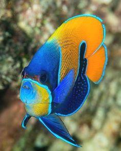 Pomacanthus navarchus: blue-girdled angelfish - World of Animals Pretty Fish, Beautiful Fish, Underwater Creatures, Ocean Creatures, Underwater Fish, Beautiful Sea Creatures, Animals Beautiful, Colorful Fish, Tropical Fish