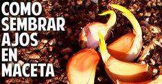 Cómo plantar ajo en maceta, tan fácil que me da verguenza | Cuidar de tus plantas es facilisimo.com