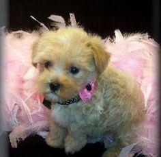 perfect maltipoo puppy