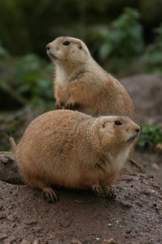 Prarie Dogs are Native to the Grasslands of North America (Cynomys ludovicianus)