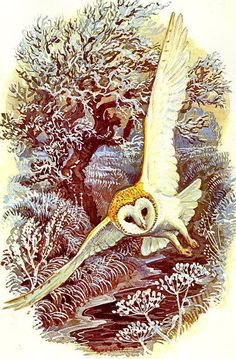 The Barn owl(Tyto alba) is the most widely distributed species of owl, and one of the most widespread of all birds. By English artist Charles Tunnicliffe OBE, RA was an internationally renowned naturalistic painter of British birds and other wildlife.