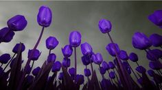 Tulips are my favorite flower!  Beautiful purple color.  Love the gray sky!