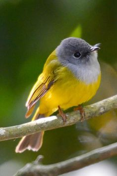 Grey-headed Canary-flycatcher