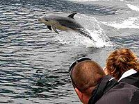 Dolphins are often seen in Doubtful Sound.