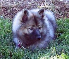 Samoyed Mixed With German Shepherd 1000+ images ab...