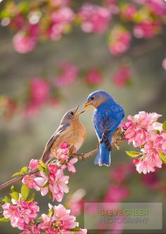 Male Eastern Bluebird feeding female Bluebird