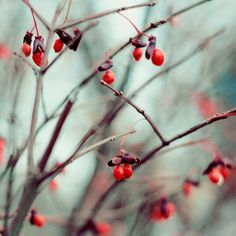 Nature Photography December Dream Winter Red Berries by ellemoss on Etsy.