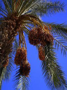 Date Palm by Miriam.PDX, via Flickr
