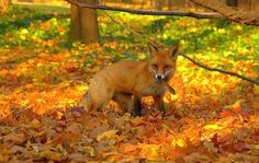"""""""Autumn, the year's last, loveliest smile,"""" ~ quote by William Cullen Bryant. Like some people, some animals love autumn. Red fox with a mouse in the beautiful and bright foliage of the forest during the fall season. Photo by KP Animals Images, Cute Animals, Wild Animals, Autumn Animals, Nature Animals, Fall Pictures, Fall Pics, Animal Pictures, Lombok"""