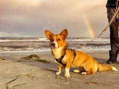 """Ce petit chien de travail (d'où son nom """"Corgi"""" qui signifie, selon les traductions, """"chien nain"""" ou """"chien de travail"""") est aujourd'hui un chien de compagnie exemplaire qui ravit petits et grands tant son caractère est bon.  #Welsh_Corgi_Pembroke #Caniprof #Chien Welsh Corgi Pembroke, Hui, Dogs, Animals, Rat Dog, Corgi Dog, Companion Dog, Dog Breeds, Animales"""