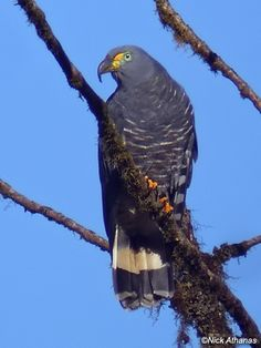 The hook-billed kite (Chondrohierax uncinatus), is a bird of prey in the family Accipitridae, which also includes many other diurnal raptors such as kites, eagles, and harriers. It occurs in the Americas, including the Rio Grande Valley of Texas in the United States, Mexico, the Caribbean, Central America, and tropical South America.